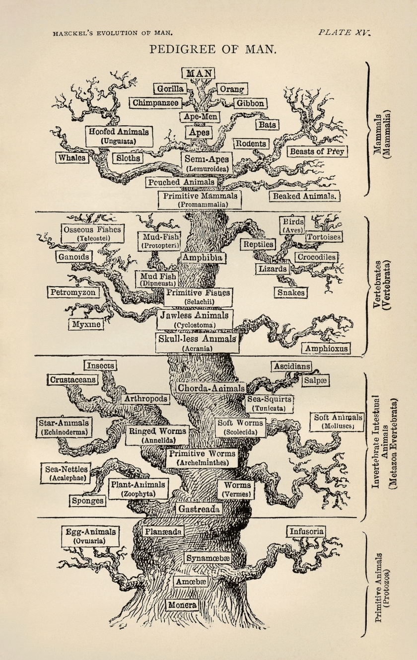 Tree_of_life_by_Haeckel